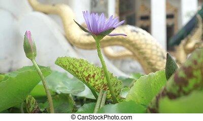 Purple flower in Bangkok clip