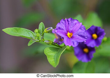 Closeup of purple flower, Kangaroo apple (Solanum laciniatum)