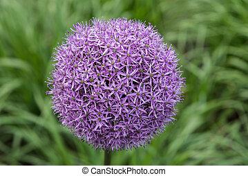 Purple flower of allium gladiator on green background