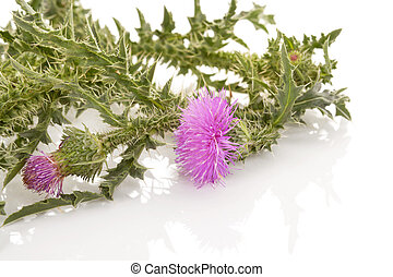 Purple flower of carduus. - Carduus flower isolated on white...