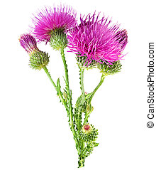Purple flower of carduus with green bud. - Purple flower of...