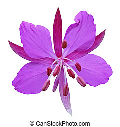 Purple flower on a white background isolated