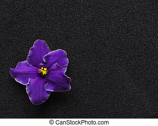 Purple flower on black background with copy space.
