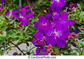 Purple flower or Tibouchina granulosa in garden