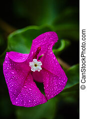 Purple flower with rain drops on it, extreme macro