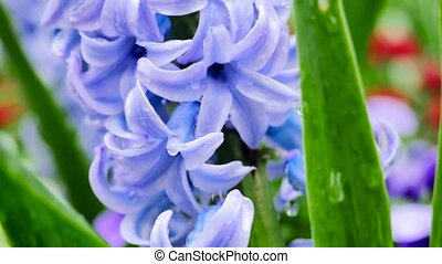 purple flowering Hyacinth plant. The camera moves back on the slider. Color correction.