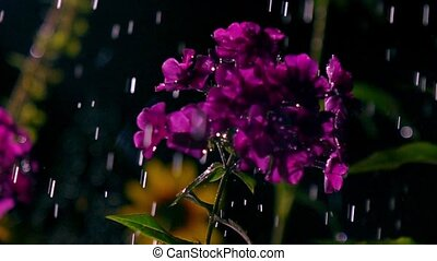 Purple flowers and falling drops of water at night. Super...