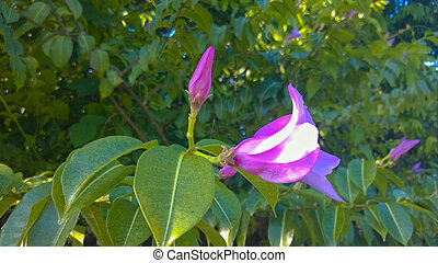 Purple flowers Apocynaceae