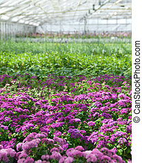 Purple flowers blooming in a greenhouse