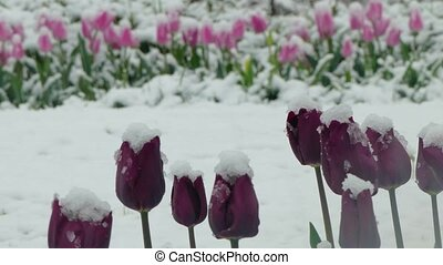 Purple flowers covered with snow - The snow falls on purple...