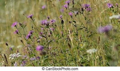 Purple flowers in a dry meadow