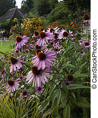 Purple flowers in English garden