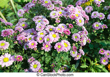 Purple flowers in full bloom