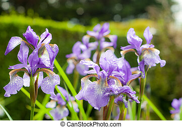 purple flowers in sunshine with water droplets