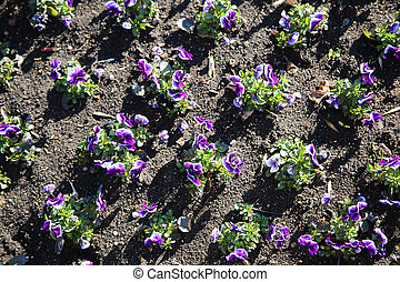 purple flowers in the flowerbed