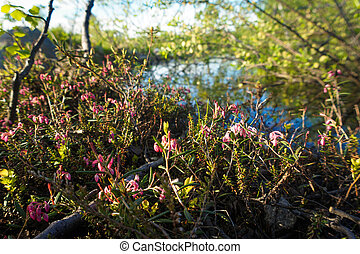 Purple flowers in the North, North grass, summer in the tundra