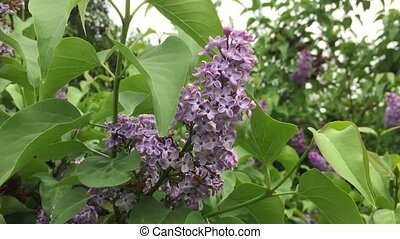 Purple flowers lilac tree. Branch with green leaves nature