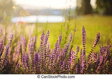 Purple flowers meadow in summer.