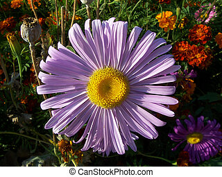 purple flowers of aster against marigolds