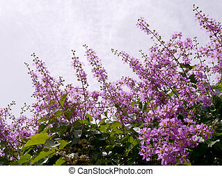 Purple flowers of Bungor. (Scientific name Lagerstroemia floribunda Jack.)
