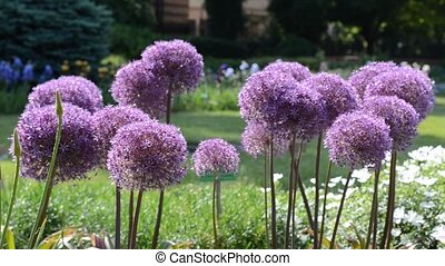 Purple flowers of garlic (Allium) shaking on wind