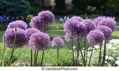 Purple flowers of garlic (Allium) shaking on wind