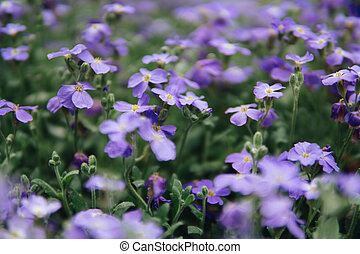 purple flowers of lobelia