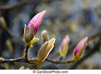 purple flowers of magnolia tree blossom. lovely springtime...