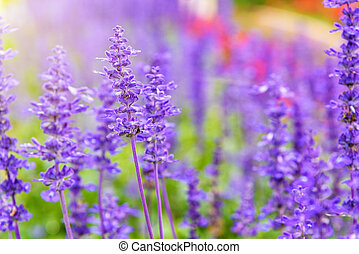 Purple flowers of Salvia Farinacea