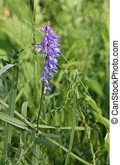 Purple flowers of the field
