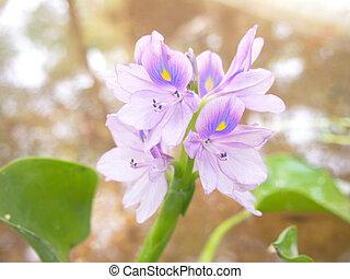 Water Hyacinth - purple flowers of Water Hyacinth