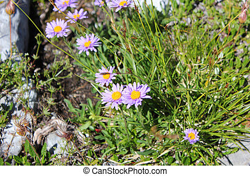 Purple flowers on a summer meadow in the mountains