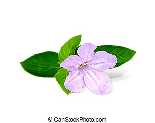 Purple flowers on a white background with green leaves.