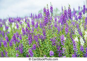 purple flowers. - Field of purple flowers in the garden.