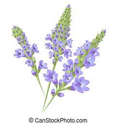 Purple flowers. Flowering herb verbena or vervain Vector.