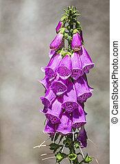 purple foxglove, digitalis purpurea