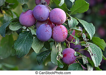 Purple fruits of a Stanley prune plum (Prunus domestica)...