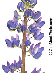 lupin - purple full-blown flower lupin on white background