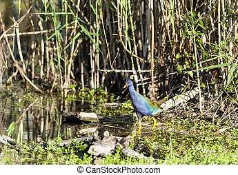 Purple Gallinule in swamp