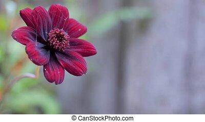 Purple garden flower close-up.