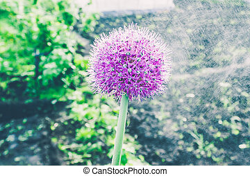 Purple garlic flower in spring garden