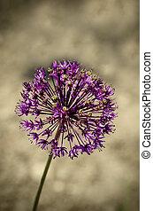 Purple Garlic Flower