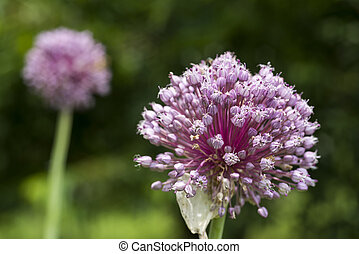 Purple garlic flower