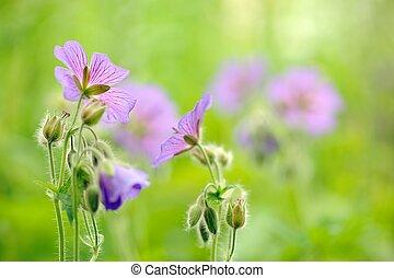 Purple Geranium Pretense (Meadow Cranesbill) Flowers in the ...