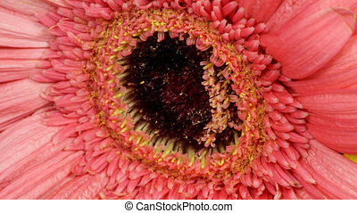 Purple gerbera flower withering time lapse - Extreme closeup...