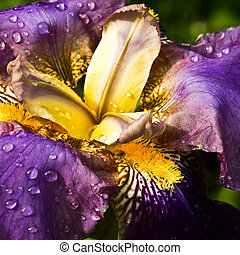 Purple German Iris or Iris germanica macro with raindrops - ...