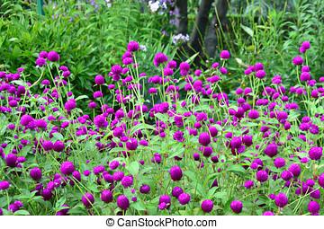Purple globe amaranth - Gomphrena globosa
