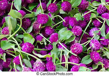 Purple Globe Amaranth or Bachelor Button flower (Gomphrena globosa L.)