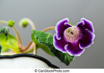 Purple Gloxinia flower
