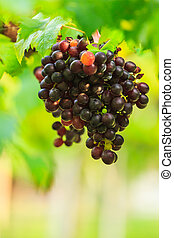 purple grape fruit with green leaves in the farm